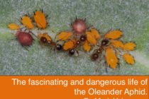 The Fascinating and Dangerous Life of the Oleander Aphid