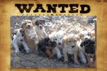 MAJ – Refuge de Saint-Martin : Vol de six chiots au refuge I LOVE MY ISLAND DOG ASSOCIATION