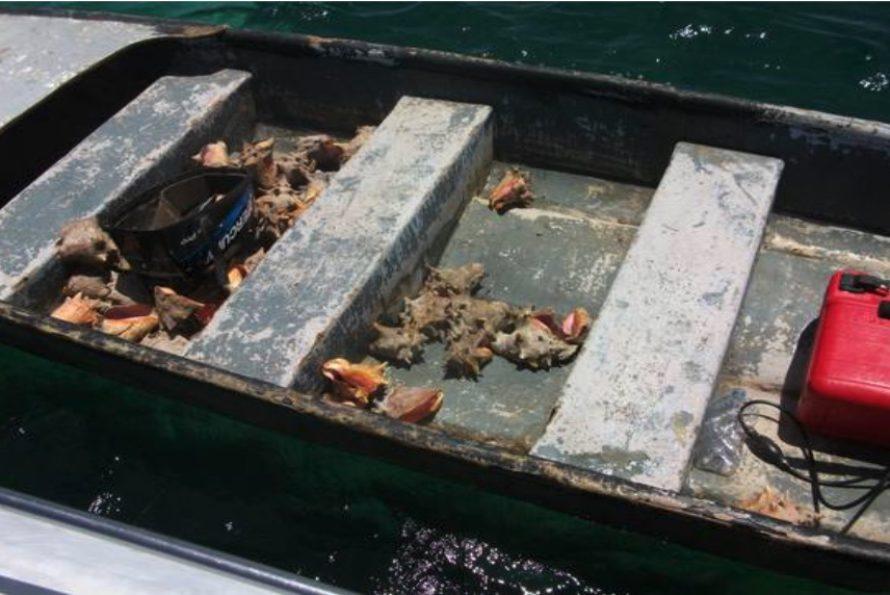Saint Martin : Pêche illégale de lambis