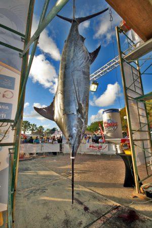 Le marlin bleu de 613 livres a été pêché par le bateau Rum & Coke en provenance d'Antigua.